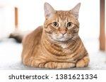 Orange Striped Tabby Cat Lying...