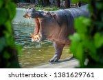 Common Hippopotamus By The...