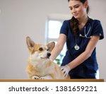 Stock photo veterinary surgeon and corgi dog at vet clinic 1381659221