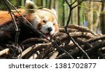 Red Panda Yawning In Tree