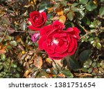 Two Red Roses On Bush