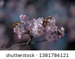Close Up  Pink Cherry Blossoms...
