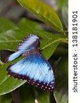 The Butterfly Morpho...