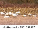 Trumpeter Swans at Johnson DeBay's Slough Game Reserve
