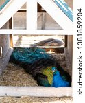peacock taking a nap at the farm | Shutterstock . vector #1381859204