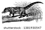 mexican coati ringed tail and a ...   Shutterstock .eps vector #1381930547