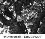 blossoming cherry tree. black... | Shutterstock . vector #1382084207