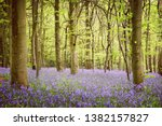 A Carpet Of Bluebells In A Woo...