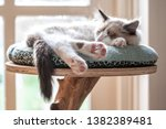 Stock photo ragdoll bi colour kitten cat at home 1382389481