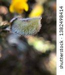 Gorse Flower Pod Seeds Wild...
