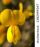 Gorse Flower Moorland Cornwall...