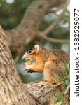 Southern Fox Squirrel Sciurus...