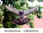Flying Pigeon In The Natural