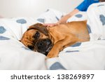 dark fawn puggle dog laying on... | Shutterstock . vector #138269897