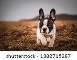 Portrait Of French Bull Dog. He ...