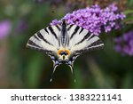 Scarce Swallowtail  Iphiclides...