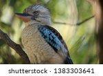 Blue Winged Kookaburra...