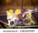 chihuahua wearing sunglasses...   Shutterstock . vector #1383305987