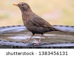 Female Common Blackbird ...