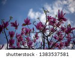 beautiful magnolia flowers in...   Shutterstock . vector #1383537581