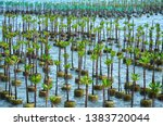 Mangrove Tree Of Mangrove...