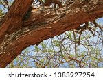 Large Sturdy Branch Of Acacia...