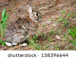 Wild Eastern Cottontail Rabbit...