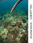 Small photo of A Banded sea snake (Laticuada colubrina) dives towards a coral reef in Raja Ampat, Indonesia, where it will hunt for fish. This species is highly venomous.
