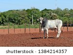 Closeup Of Young Zebu Bull Of...