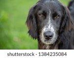 portrait of a black english...   Shutterstock . vector #1384235084
