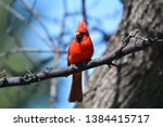 A Male Northern Cardinal...