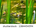 marsh frog  pelophylax...   Shutterstock . vector #1384454594