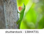 Green Anole In The Florida Keys