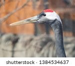 Red-crowned crane. The Japanese crane is a sacred bird in Japan and in China. The Japanese crane is one of the largest, its height is about 158 cm, and the weight is 7.5 kg.