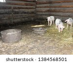 Three Little Pigs In The Barn...