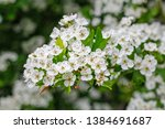 White Flowers Of Crataegus...
