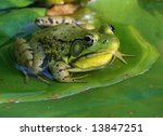 frog on a lily pad | Shutterstock . vector #13847251