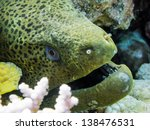 giant moray eel  gymnothorax...   Shutterstock . vector #138476531