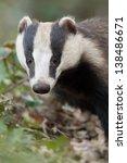 european badger   vertical... | Shutterstock . vector #138486671