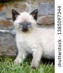 White Siamese Kitten With Blue...