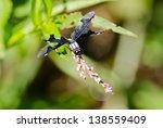 A Portia Widow Dragonfly...
