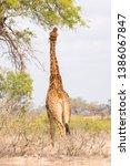 giraffe eating leaves from a... | Shutterstock . vector #1386067847