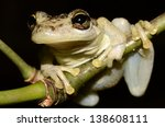 Small photo of Snouted tree frog (Scinax sp.)