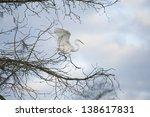 Great Egret Hopping Through...