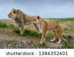 Alert Lion And Lioness Standin...