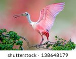 Roseate Spoonbill With Wings...