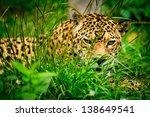 Jaguar   Panthera Onca  Starin...