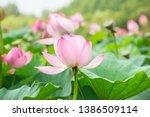 Lotus Flower Growing In A Pond