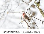 One Male Red House Finch...