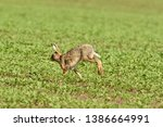 Stock photo wild brown hare runs along a farm meadow in the spring 1386664991